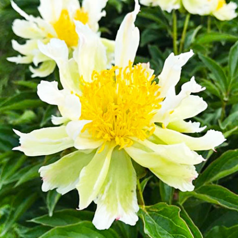 Пион Green Lotus фото
