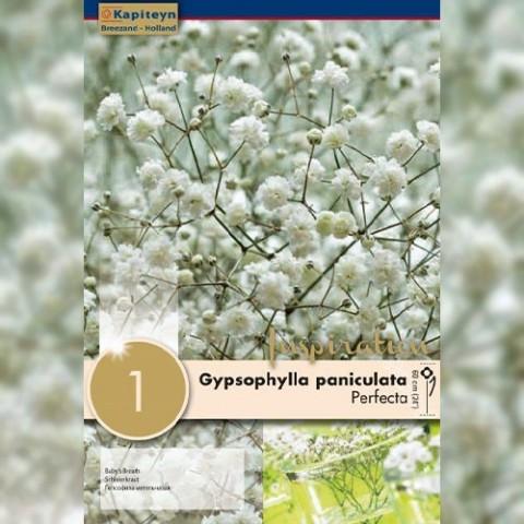 Гипсофилла Snowflake (Брендовые саженцы KAPITEYN®) фото