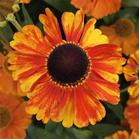 Гелениум Sahin's Early Flowerer фото