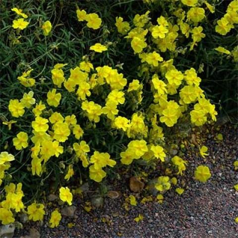Гелиантемум Wisley Primrose фото