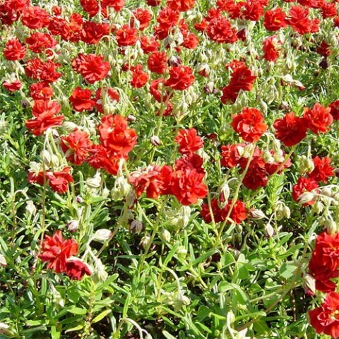 Гелиантемум Amabile Plenum фото