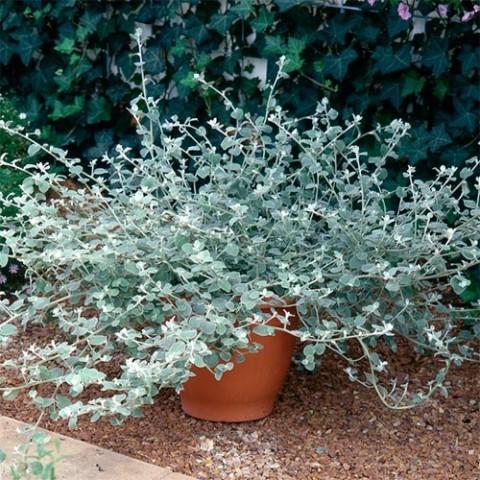 Гелихризум Silver фото