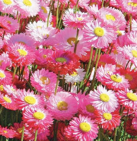 Гелиптерум розеум Гулливер фото