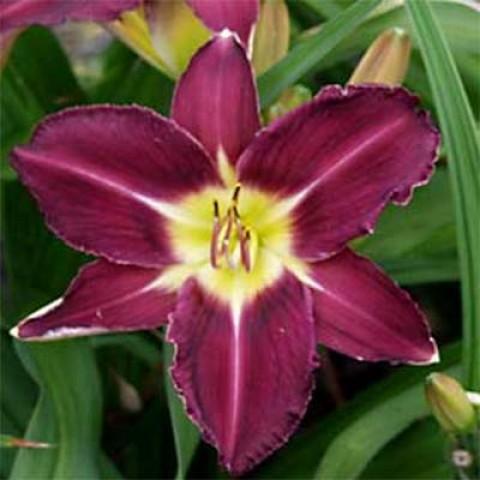 Лилейник Violet Hour фото