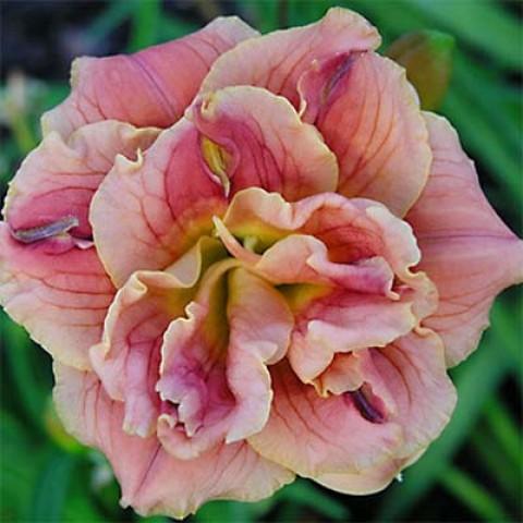 Лилейник Double Pink Peony фото