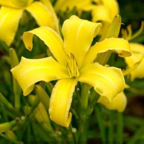 Лилейник Lemon Madeline фото
