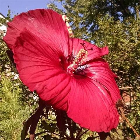 Гибискус садовый Fireball фото