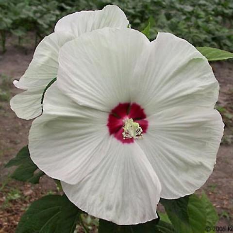Гибискус садовый Disco Belle White фото