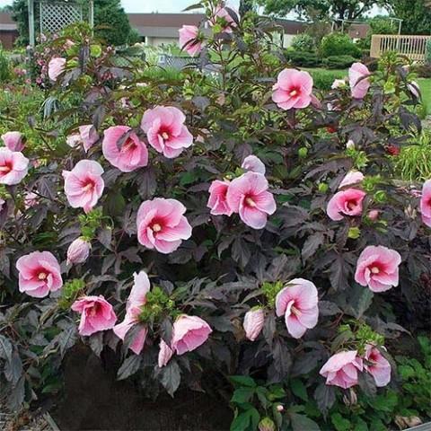 Гибискус садовый Pink Candy фото