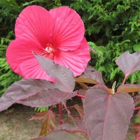 Гибискус садовый Pink Passion фото