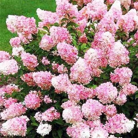 Гортензия Touch of Pink фото