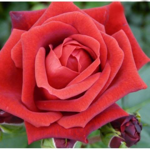 Роза Humanity фото