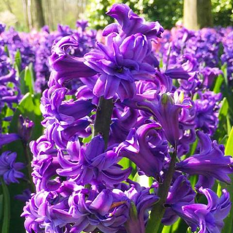 Гиацинт махровый Lili Purple фото