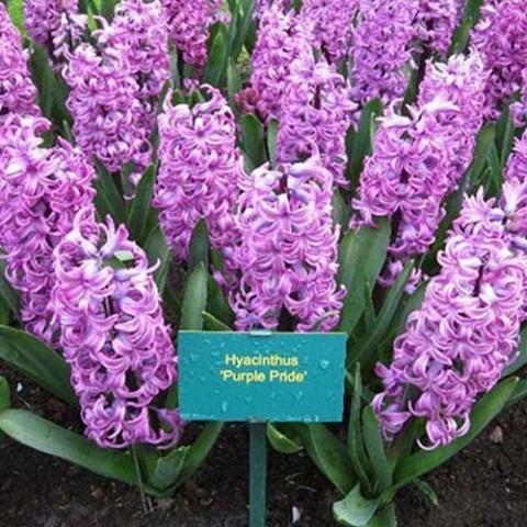 Гиацинт Purple Pride фото