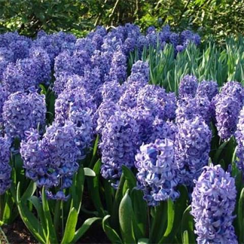 Гиацинт Delft Blue 50 фото