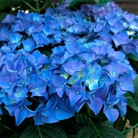Гортензия Early Blue фото