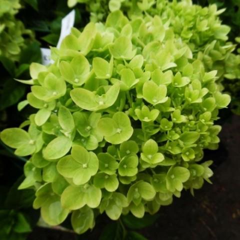 Гортензия Little Lime фото