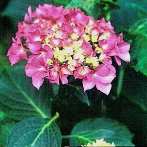 Гортензия Pink Dream фото