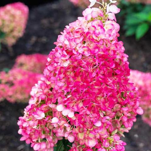 Гортензия Strawberry Blossom фото