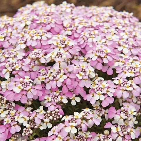 Иберис Pink Ice фото