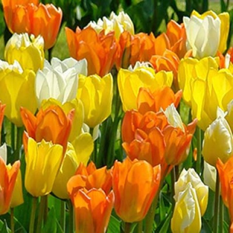 Тюльпаны Imperial Friends Микс фото