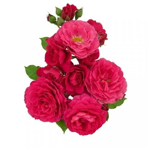 Роза Intense Romanza фото