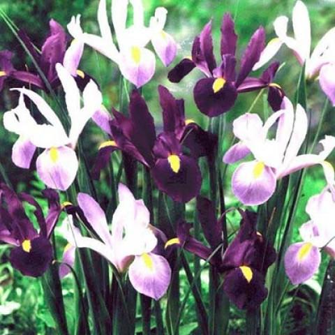 Ирис Hollandica Purple Lavender Mix фото