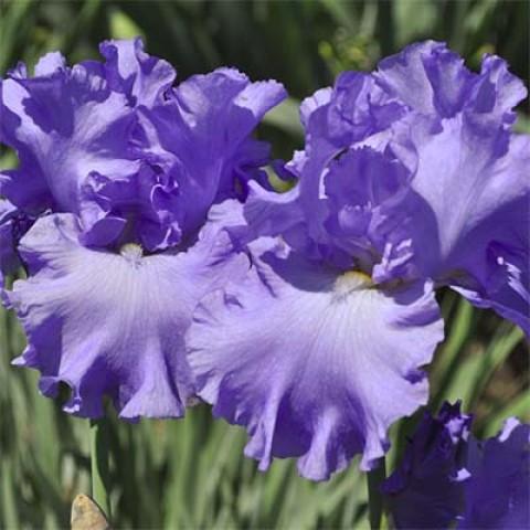 Ирис Yaquina Blue фото