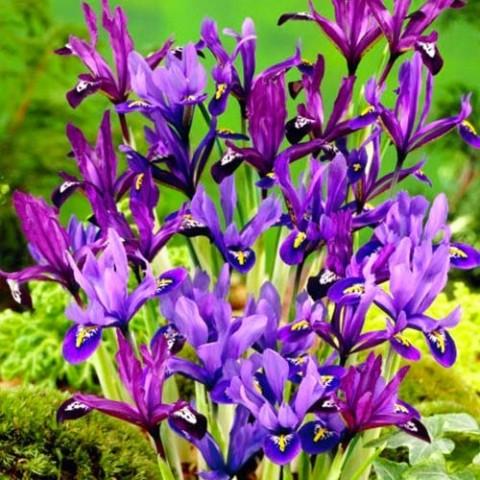 Ирис reticulata Mix фото