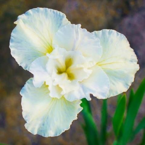 Ирис Sibirica Yellow Tail фото