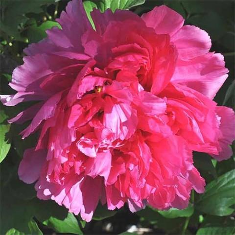 Пион Coiled Leaf Red Juan Ye Hong древовидный фото