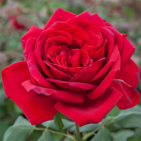 Роза Jubilee de Papa Meilland фото