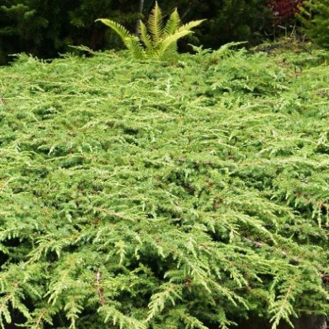 Можжевельник Green Carpet фото