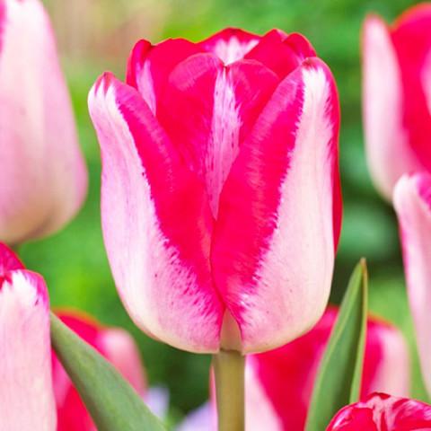 Тюльпан Just Kissed фото