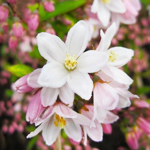 Дейция Kalmiiflora фото