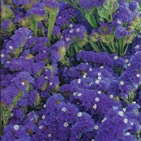 Кермек Крепость пурпурный фото