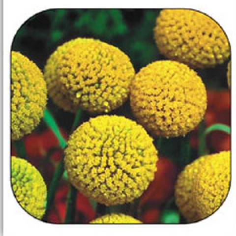 Краспедия (сухоцвет) смесь фото