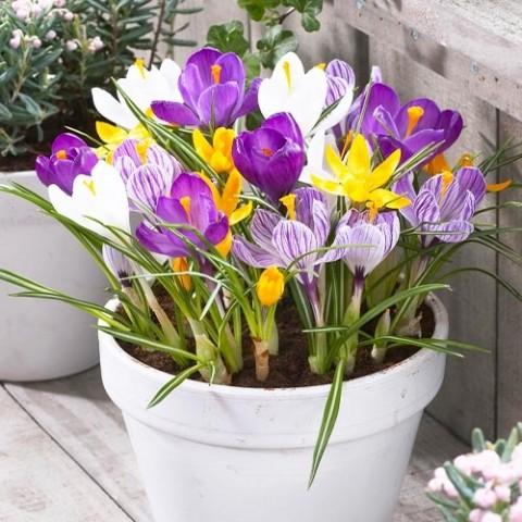 Крокус Крупноцветковый Микс фото