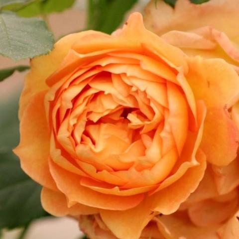 Роза Lady of Shalott фото