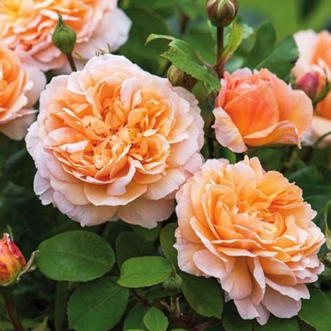 Роза Lady Gardener фото