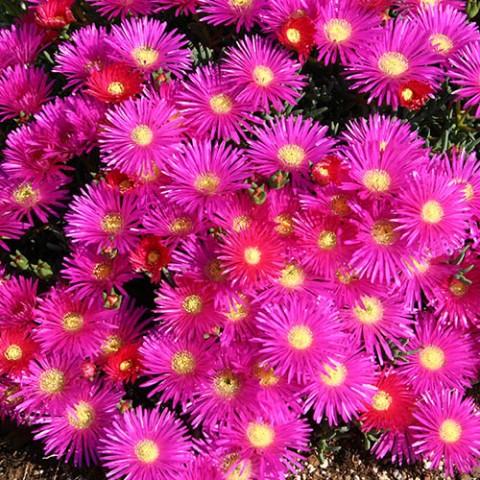 Лампрантус Фиолетовый фото