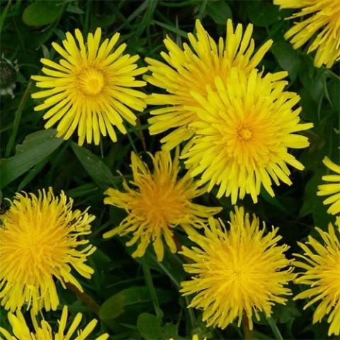 Лампрантус Желтый фото