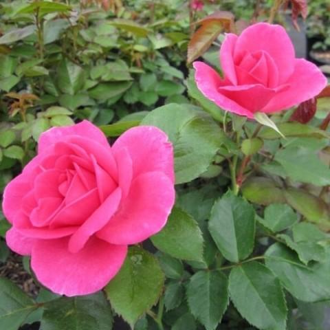 Роза Lea Renaissance фото