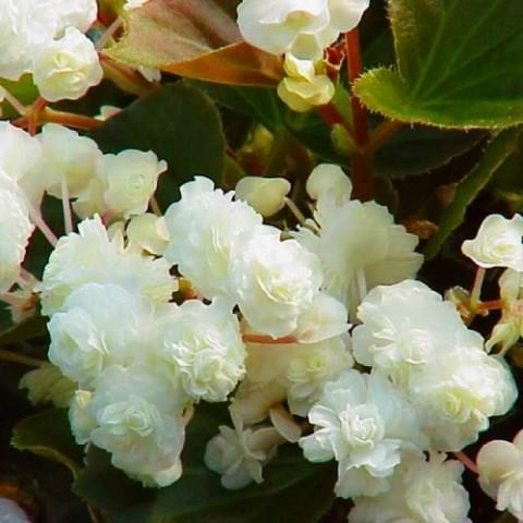 Бегония Pendula Cascade White фото