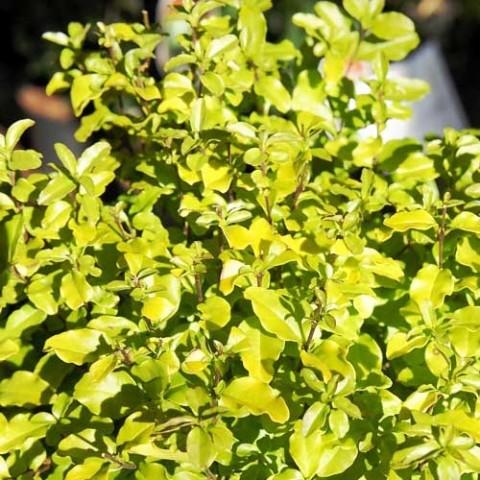 Лигуструм Lemon and Lime фото