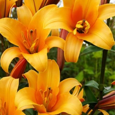 Лилия Orange Planet фото