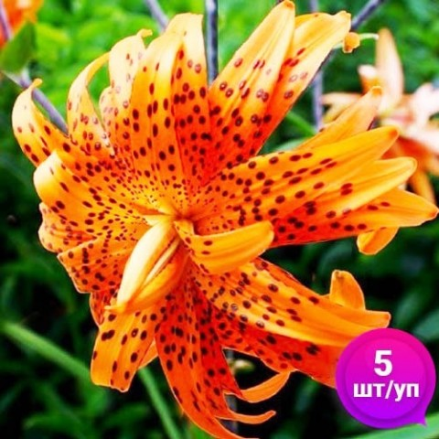 Лилии Flore Pleno (Эконом-упаковка 5 шт) фото