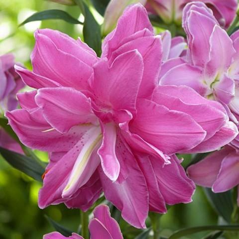 Лилия Lotus Wonder фото