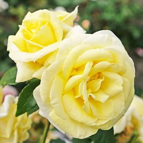 Роза Limona фото