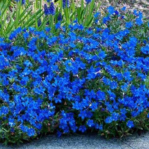 Литодора Heavenly Blue фото